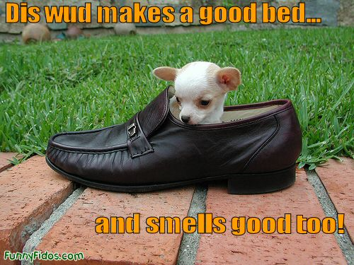 puppy in a shoe
