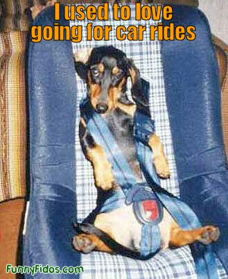 Funny dog in a car seat