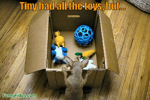 Funny little dog can\'t reach his toys