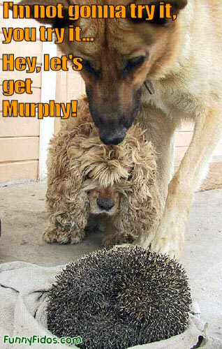 Two dogs starring at a porcupine wondering what it is