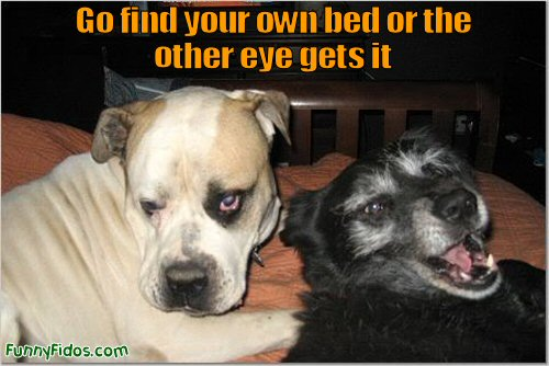 funny dog with a black eye getting threatened