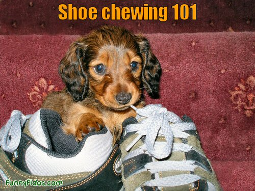 Funny puppy chewing on a shoe string