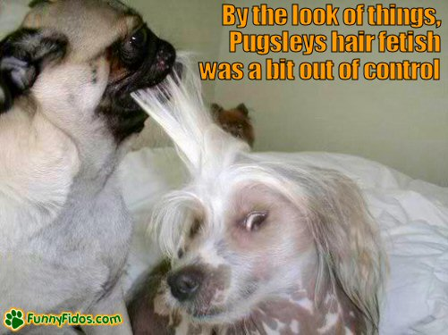 Funny Pug pulling on another dogs hair