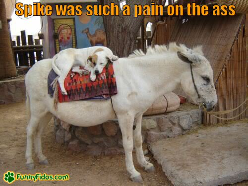 dog sleeping on the back of a donkey
