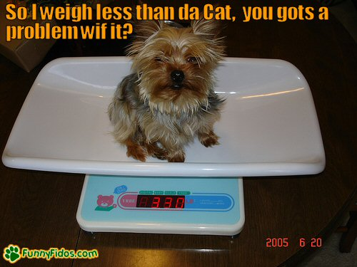 funny yorkie on a baby scale