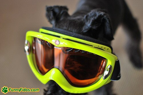 funny dog wearing big goggles