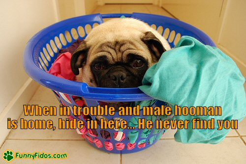 Funny pug hiding in laundry basket
