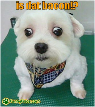 little dog with big eyes wanting bacon