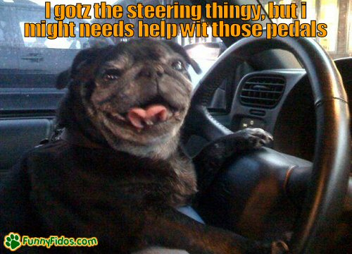 funny dog driving