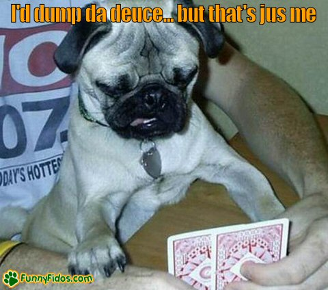 Pug dog studying his cards