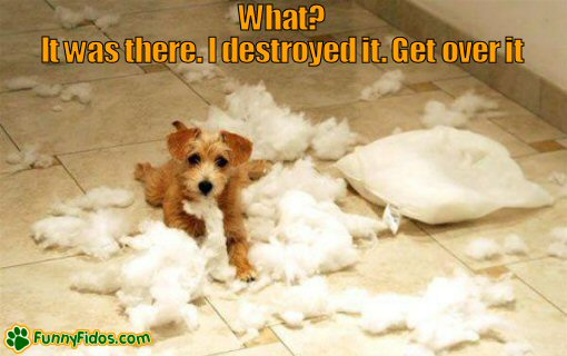 funny little dog destroying a pillow