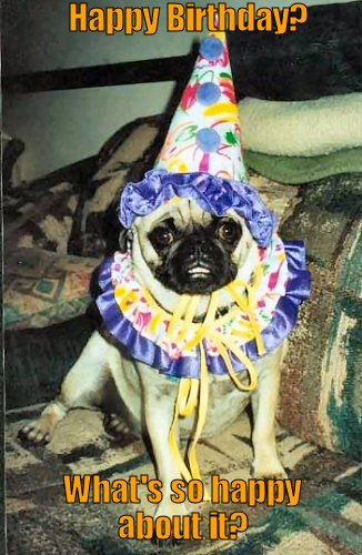 Funny pug dressd in a birthday outfit