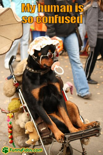 Rottweiler in a baby stroller