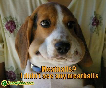 Beagle looking guilty