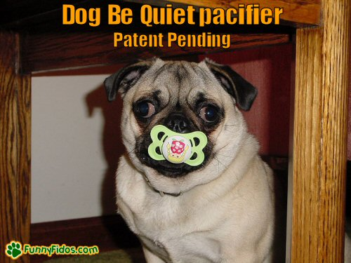 Funny pug sucking on a pacifier