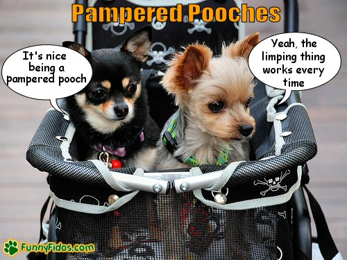Two little dogs getting pushed in a baby stroller
