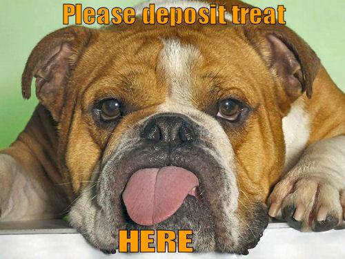 funny Bulldog sticking tongue out