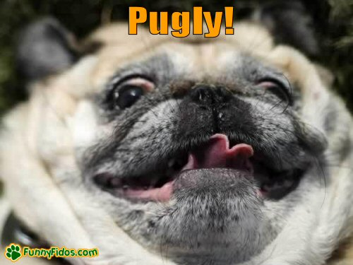A not so cute Pug Dog