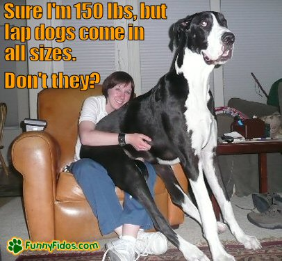 Great Dane trying to be a lap dog