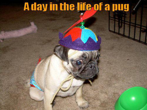 Pug wearing a beanie cap
