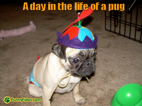Funny dressed pug