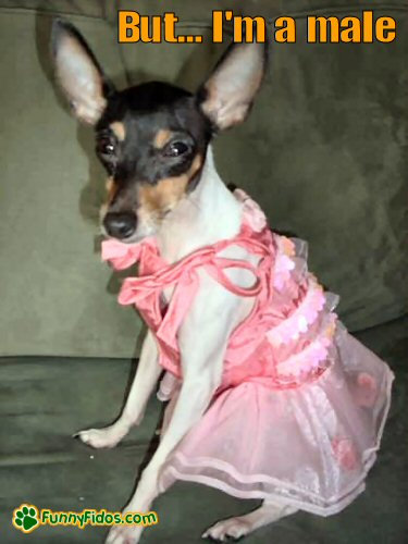 Chihuahua wearing a pink dress