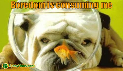 Bulldog staring at a fish bowl
