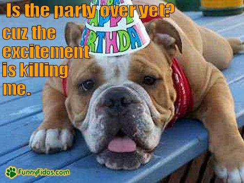 Bulldog wearing a Birthday hat