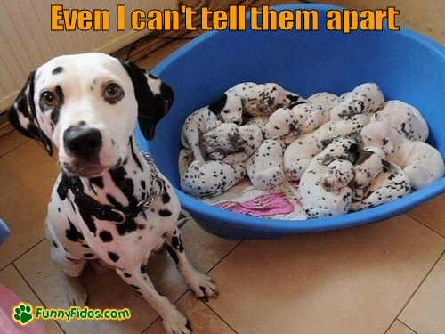 Dalmatian mom with puppies