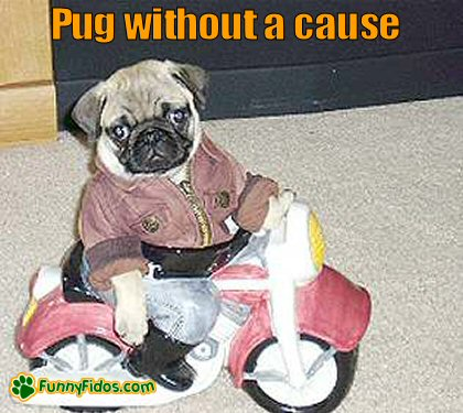 Funny pug on a toy mototcycle