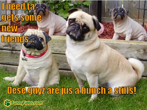 A bunch of pug imposters