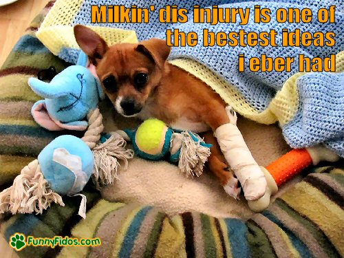 injured dog with lots of toys