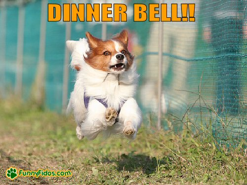 little dog running for dinner