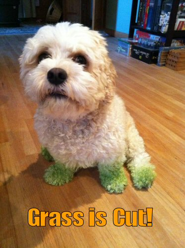 cute white dog with fresh grass stains on paws