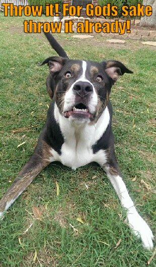 Dog anticipating ball