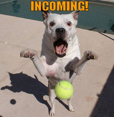 Dog getting ready for Incoming tennis ball