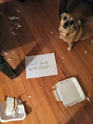 dog ate humans dinner
