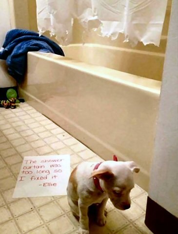 Dog-Shaming-I-ate-shower-curtain