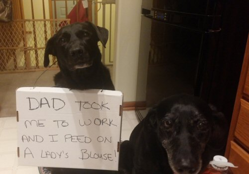 dog-shaming-i-peed-on-ladies-blouse
