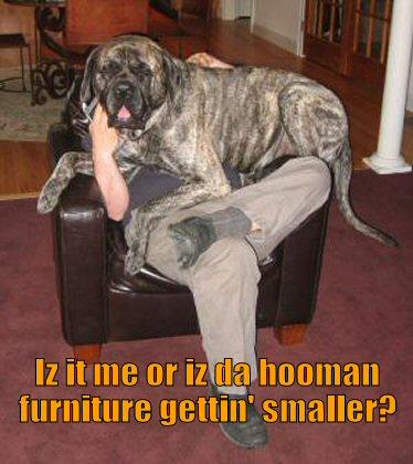 big dog thinks he's a lap dog
