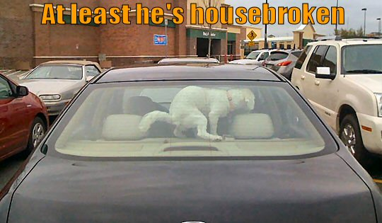 Dog pooping in back of car window