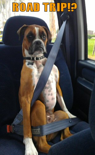 Boxer wearing his seatbelt
