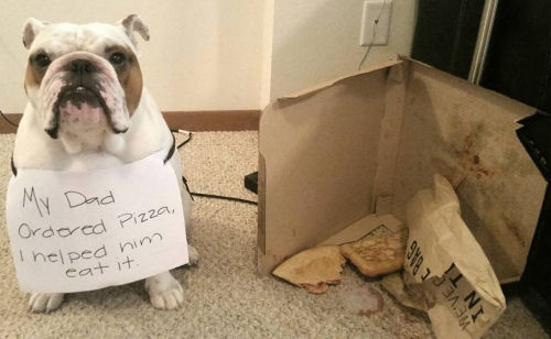 Bulldog ate dad's pizza