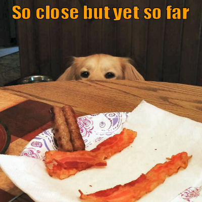 Dog eyeing up some bacon