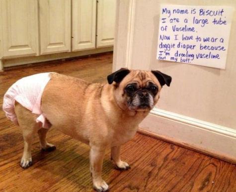 Pug in a diaper